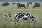 Zebras grazing at Lake Nakuru National Park, Kenya