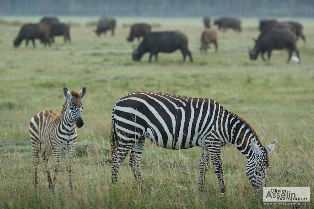 Zebras grazing at Lake Nakuru National Park, Kenya