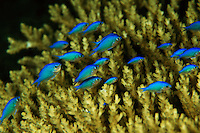 Juvenile blue damselfish sheltering in an acropora coral.