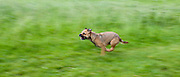 Border Terrier dog running fast - galloping - in the United Kingdom