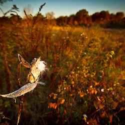 Milkweed pod at Elmwood Farm in Hopkinton, Massachusetts.
