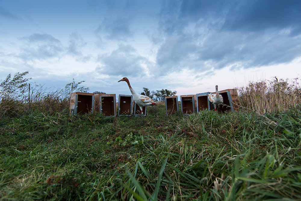 Release day for the Whooping Cranes.  All 9 of the 2014 Direct Autumn Release Whooping Cranes were gathered into their boxes and taking away from their pen and released into the wild.  On there own for the first time.