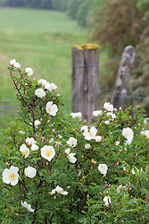 Burnet rose growing wild at the edge of a field. Rosa pimpinellifolia