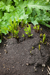 Mulched dahlia shoots emerging into new spring growth after overwintering in the ground.