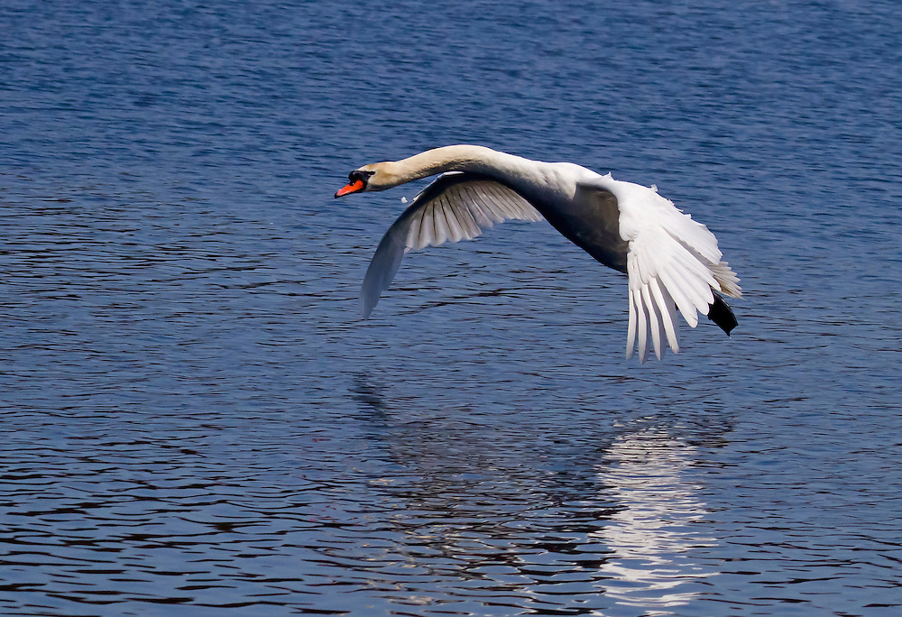 Mute swan coming in for a landing.