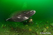 Greenland sleeper shark, Somniosus microcephalus, <br /> and photographer, St. Lawrence River estuary, Canada (this shark was wild &amp; unrestrained; it was not hooked and tail-roped as in most or all photos from the Arctic) MR 373