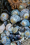 Oceania, Australia; Australian; Tasmania; Bay of Fires, Eddystone Point Shells on beach