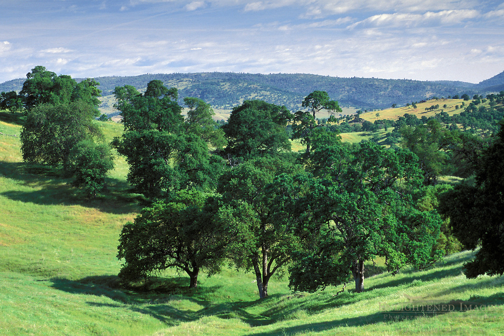 Oak tree, green grass, and blue sky in spring, Mariposa County, California
