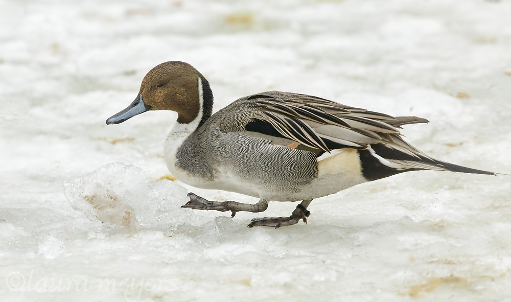 Northern Pintail male duck walking on the ice.