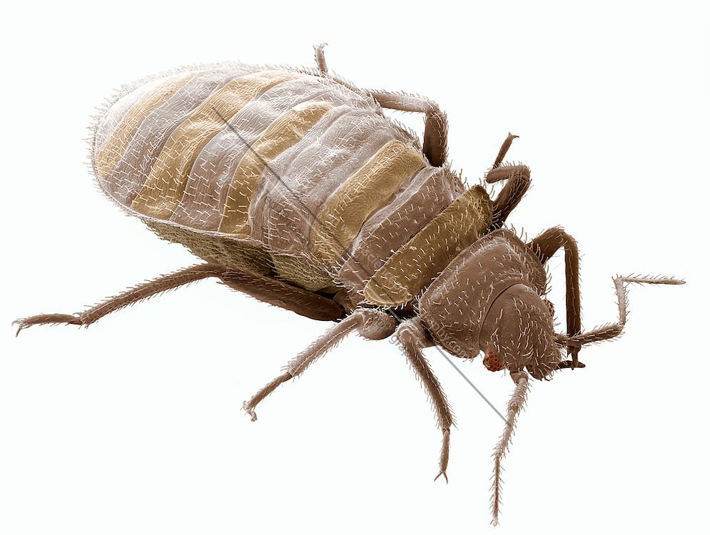 Bedbug Cimex Lectularius Sem Sciencephotography Com