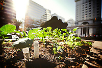 Small garden of herbs and vegetables planted in city plaza plant boxes by Occupy Oakland demonstrators, at Frank Ogawa Plaza, in downtown Oakland, CA.  Copyright 2011 Reid McNally.