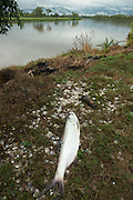 Atlantic Tarpon (Megalops atlanticus) fishing used for shark bait on commercial long lines<br /> Quetzalito<br /> Guatemala<br /> Central America