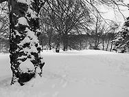 A Beech tree in the snow on Cherry Hill near Bethesda Terrace in Central Park