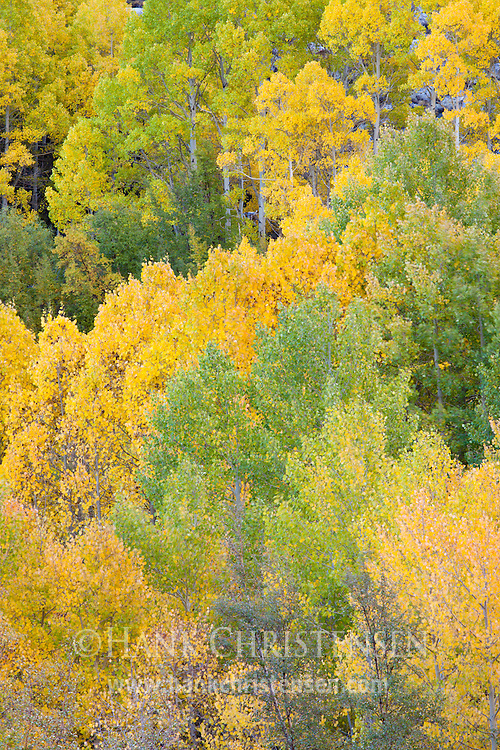 Aspen trees along Bishop Creek turn colors in early fall