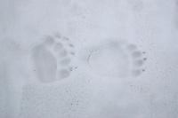 Brown Bear (Ursus arctos) tracks, the Carpathians; Carpathian Mountains; Bieszczady Mountains; Poland