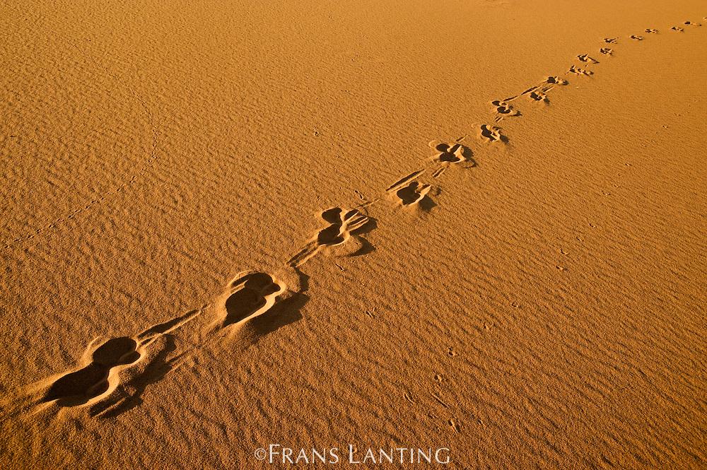 Oryx tracks in sand, Oryx gazella, Namib-Naukluft National Park, Namibia