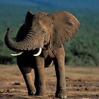 South Africa, Addo Elephant National Park, Angry Bull Elephant (Loxodonta africana) by water hole