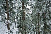 A forest in winter,  Central Cascades of Washington State, USA.