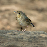 The Siberian blue robin (Luscinia cyane) is a small passerine bird that was formerly classified as a member of the thrush family, Turdidae, but is now more generally considered to belong to the Old World flycatcher family, Muscicapidae.