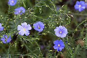 Linseed flax, Linum perenne, used for linseed oil or cereals in organic vegetable and herb garden in Oxfordshire, UK