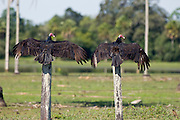 Turkey Vultures (Cathartes aura) drying their wings in the Pantanal in the Mato Grosso do Sul in Brazil.