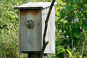 American Kestrels feeding