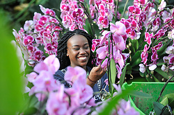 © Licensed to London News Pictures. 08/02/2018. LONDON, UK.  Yasmin Akrofi-Rollock, Kew apprentice, puts the finishing touches to the displays in Kew Garden's first Thai-inspired Orchids Festival, which celebration of Thailand's vibrant colours, culture, and magnificent plant life.   The festival runs from Saturday 10 February to Sunday 11 March 2018 and is hosted in partnership with the Royal Thai Embassy, London and Thai Airways.  Photo credit: Stephen Chung/LNP