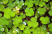 clover leaves, close up, Rredwood National Park, California