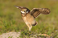Juvenile burrowing owl tries its wings while standing on the mound next to its burrow, © 2011 David A. Ponton