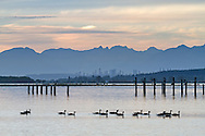 A flock of Canada Geese (Branta canadensis) swims up the Nicomekl River at Blackie Spit in Crescent Beach, British Columbia, Canada