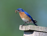 Eastern Bluebird Male (Sialia sialis) with food for nestlings in nest box