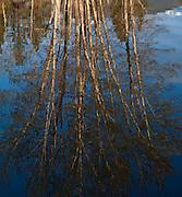 Reflected Cottonwoods, Lee Metcalf National Wildlife Refuge, Western Montana