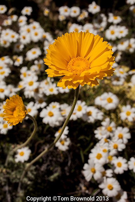 Desert Marigold and Blackfoot Daisy