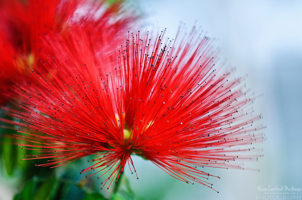Calliandra Tweedii or Mexican Flamebrush in bloom at the National Botanical Garden of Belgium, in Meise.