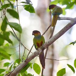 """""""Tiriba-grande (Pyrrhura cruentata) fotografado em Linhares, Espírito Santo -  Sudeste do Brasil. Bioma Mata Atlântica. Registro feito em 2013.<br /> <br /> <br /> <br /> ENGLISH: Blue-throated Parakeet photographed in Linhares, Espírito Santo - Southeast of Brazil. Atlantic Forest Biome. Picture made in 2013."""""""