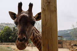 March 24, 2016 - Jerusalem, Israel - Father, Rio, strategically places himself between visitors and his newly enlarged family as the Jerusalem Biblical Zoo welcomes two newborn South African giraffe calves (Giraffa camelopardalis giraffa) into the African animals enclosure open for public viewing. Adis, male, two weeks old, was born to mother Akea, and Rotem, female, one month old, was born to mother Yasmin. The calves are second generation Jerusalem born to grandparents purchased in an auction from South Africa. Rio, male, fathered both calves. (Credit Image: © Nir Alon via ZUMA Wire)