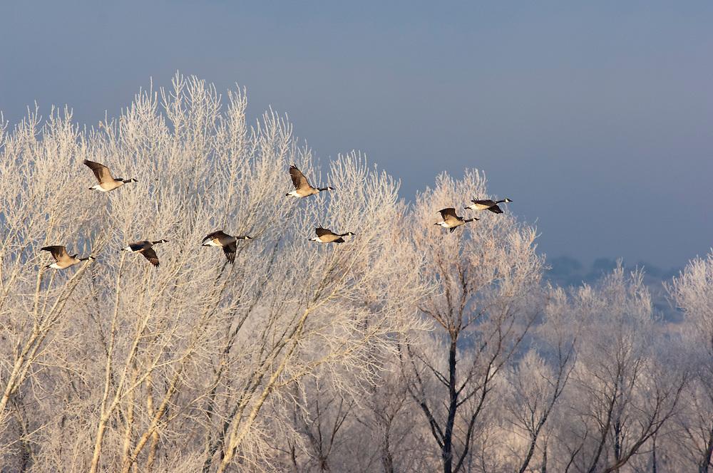 Canada Geese, Branta canadensis, Bosque del Apache NWR, New Mexico