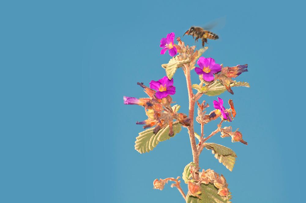 Bee,Flowers,