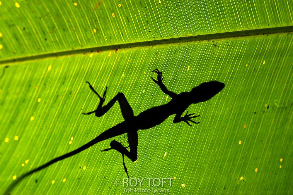Anoles Lizard silhouette, Costa Rica