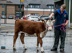 3 month-old Hereford calf Julia gets a final wash and brush up from owner Bethan Hutchinson from Hartlepool during final preparations for this years Royal Highland Show at Ingliston near Edinburgh.<br /> <br /> &copy; Dave Johnston/ EEm