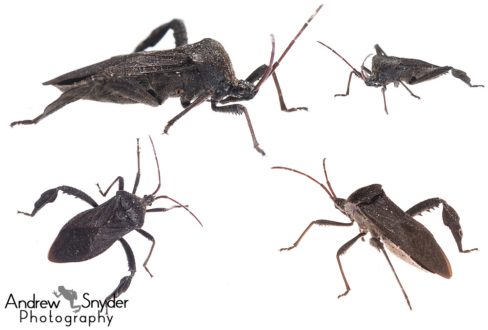 Leaf-footed bug (Acanthocephala sp.) - Oxford, Mississippi