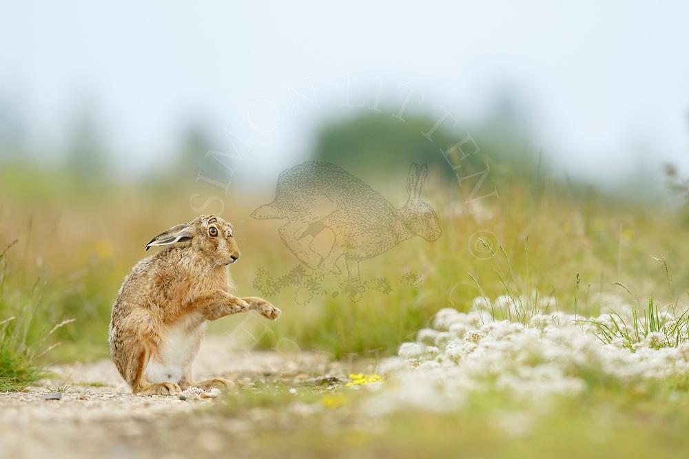 European Hare (Lepus europaeus) adult on farmland track, South Norfolk, UK. July.