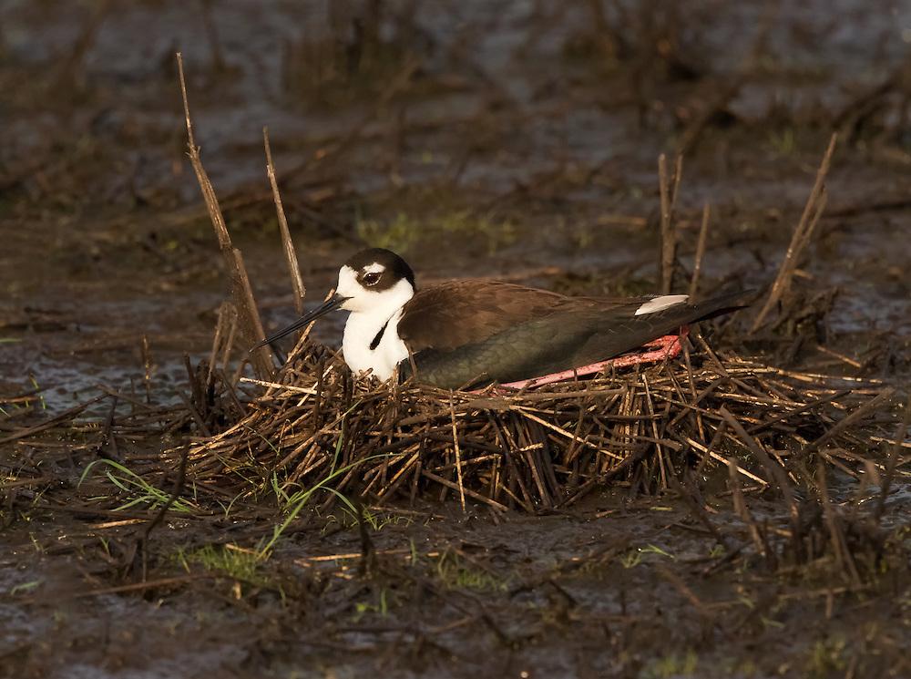 Black-necked Stilt (Himantopus mexicanus) on a nest.