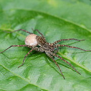 Wolf spider, Lycosidae, with egg sac. Kaeng Krachan National Park, Thailand.
