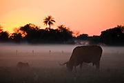 Aquidauana_MS, Brasil...Silhueta de um boi na fazenda Rio Negro no Pantanal...A bull silhouette in Rio Negro farm in Pantanal...Foto: JOAO MARCOS ROSA / NITRO