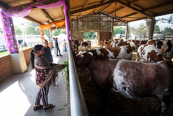 © Licensed to London News Pictures. 02/09/2018. Aldenham, UK. A woman feeds a sacred cow during Janmashtami Hindu festival at Bhaktivedanta Manor Hare Krishna Temple in Aldenham, Hertfordshire. Janmashtami is an annual Hindu festival that celebrates the birth of Krishna. Bhaktivedanta Manor, the venue fo the event, was donated to the Hare Krishna movement in February 1973 by former Beatle George Harrison. Photo credit: Ben Cawthra/LNP