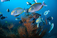 Surgeonfishes using a Black Coral tree for cover<br /> <br /> Shot in Indonesia