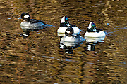 To pair ofBufflehead -Bucephala albeola swimming
