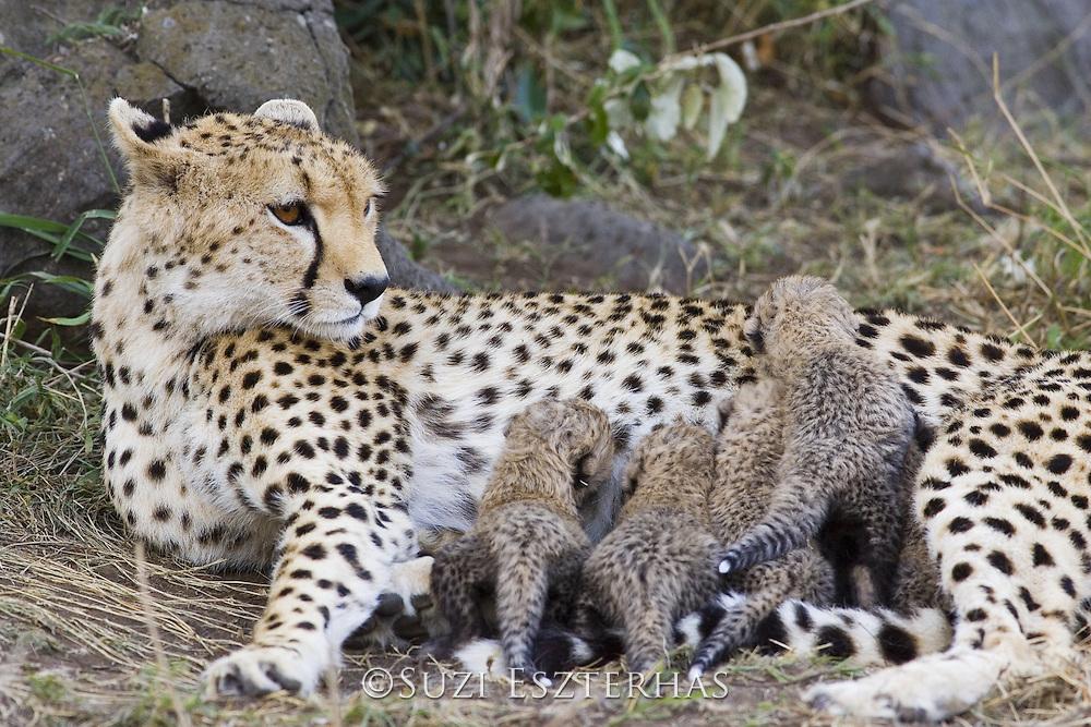 Cheetah<br /> Acinonyx jubatus<br /> Mother and 8 day old cubs in nest<br /> Maasai Mara Reserve, Kenya