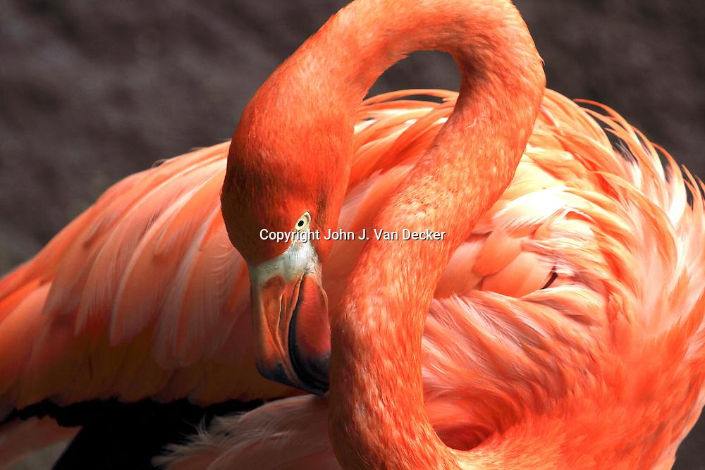 American Flamingo, Phoenicopterus ruber, Cape May County Zoo, New Jersey, USA